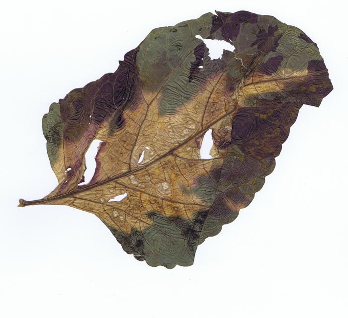 ouderen broos blad